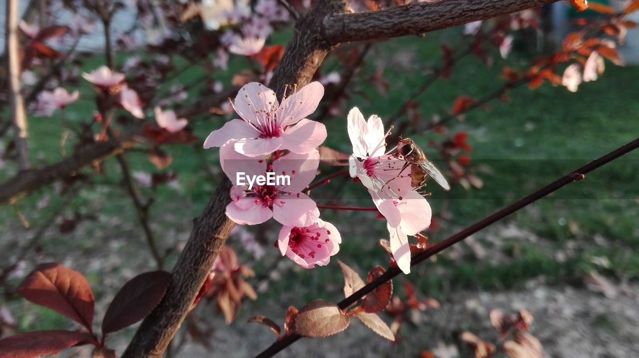 flower, fragility, growth, nature, beauty in nature, tree, flower head, petal, branch, freshness, day, blossom, outdoors, pink color, no people, springtime, focus on foreground, close-up, blooming
