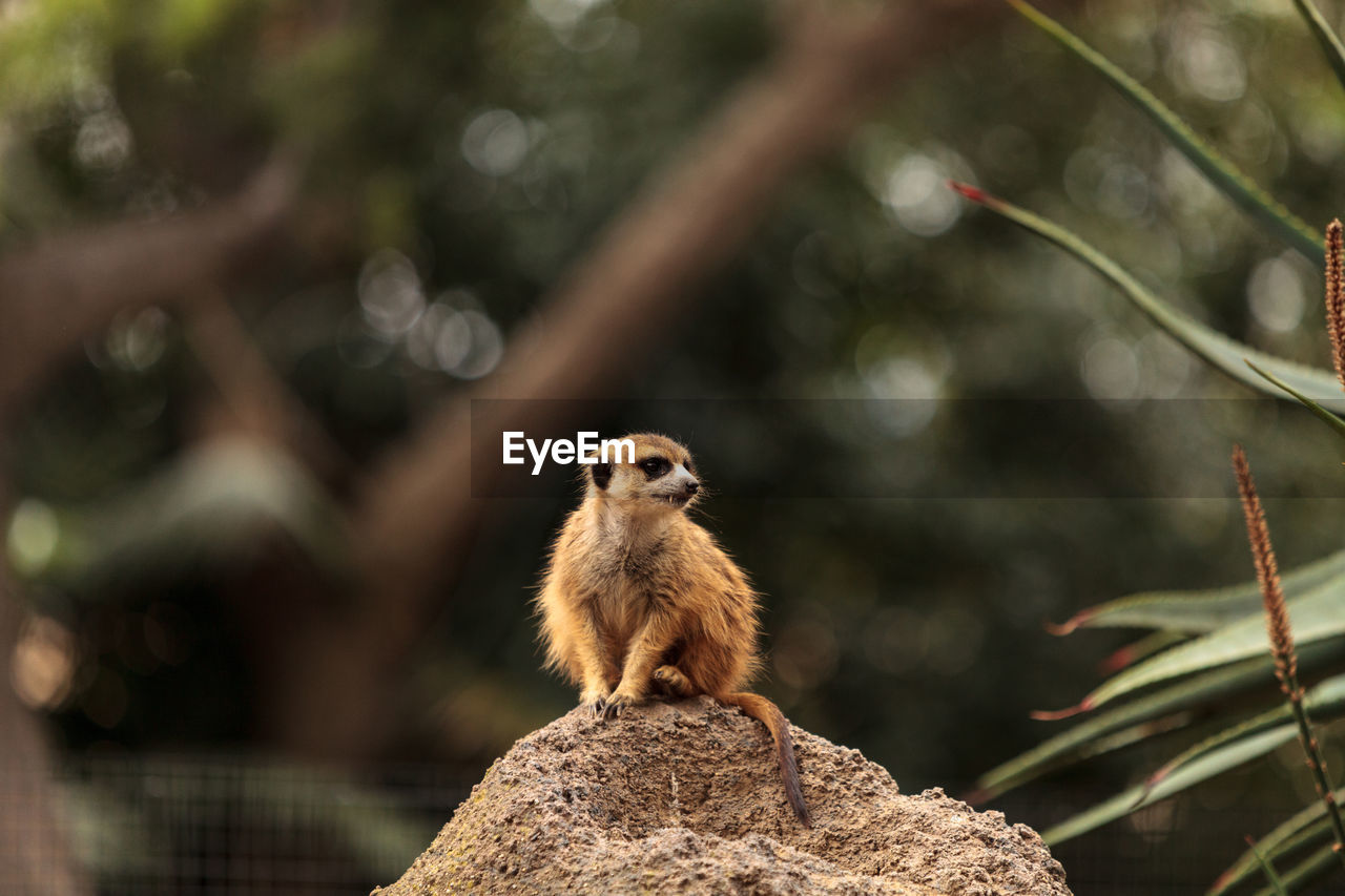 animal themes, animal, animal wildlife, mammal, animals in the wild, one animal, focus on foreground, vertebrate, nature, day, no people, rodent, solid, outdoors, rock - object, rock, squirrel, tree, plant, close-up