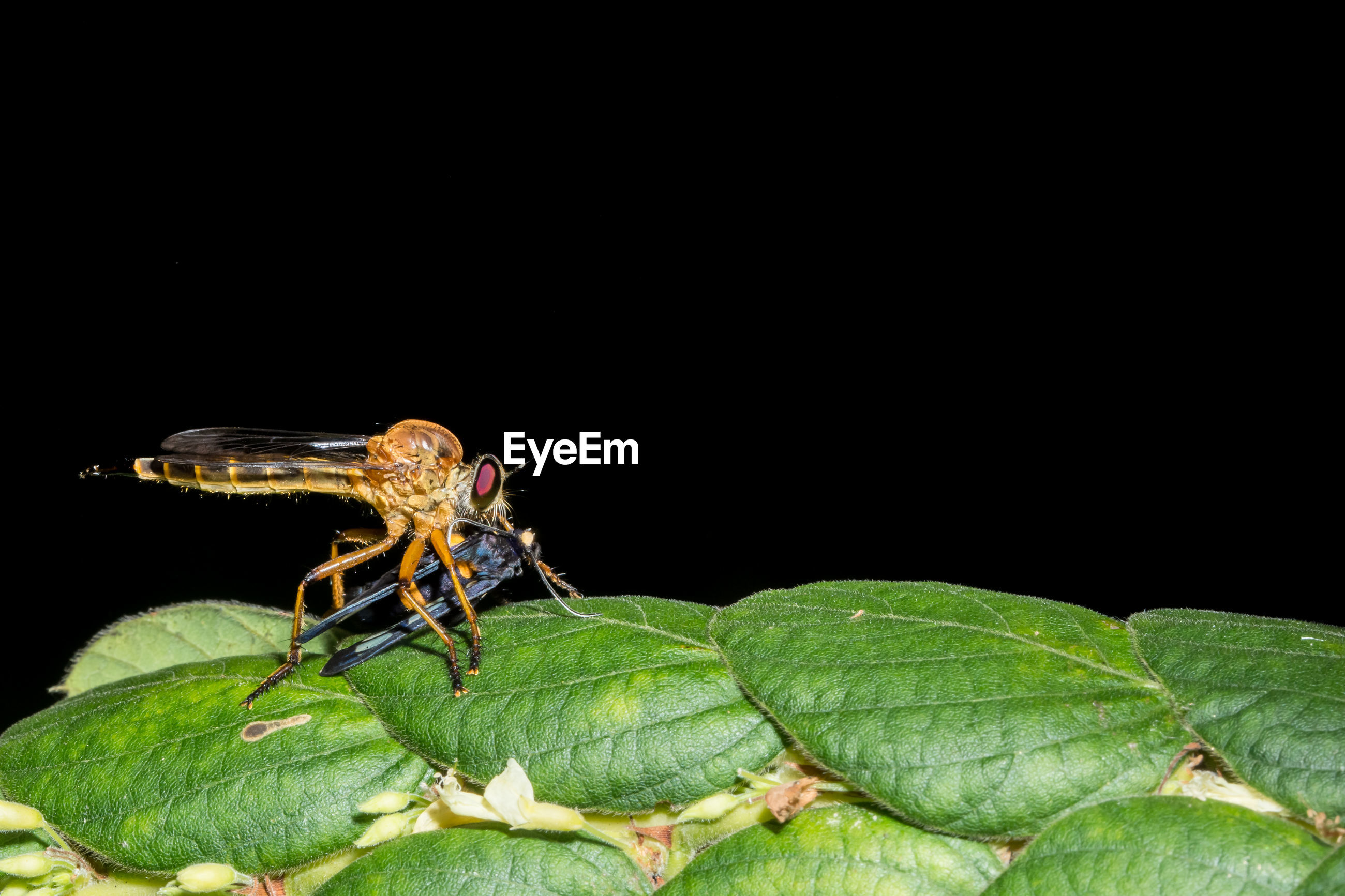 Close-up of dragonfly hunting insect on leaf