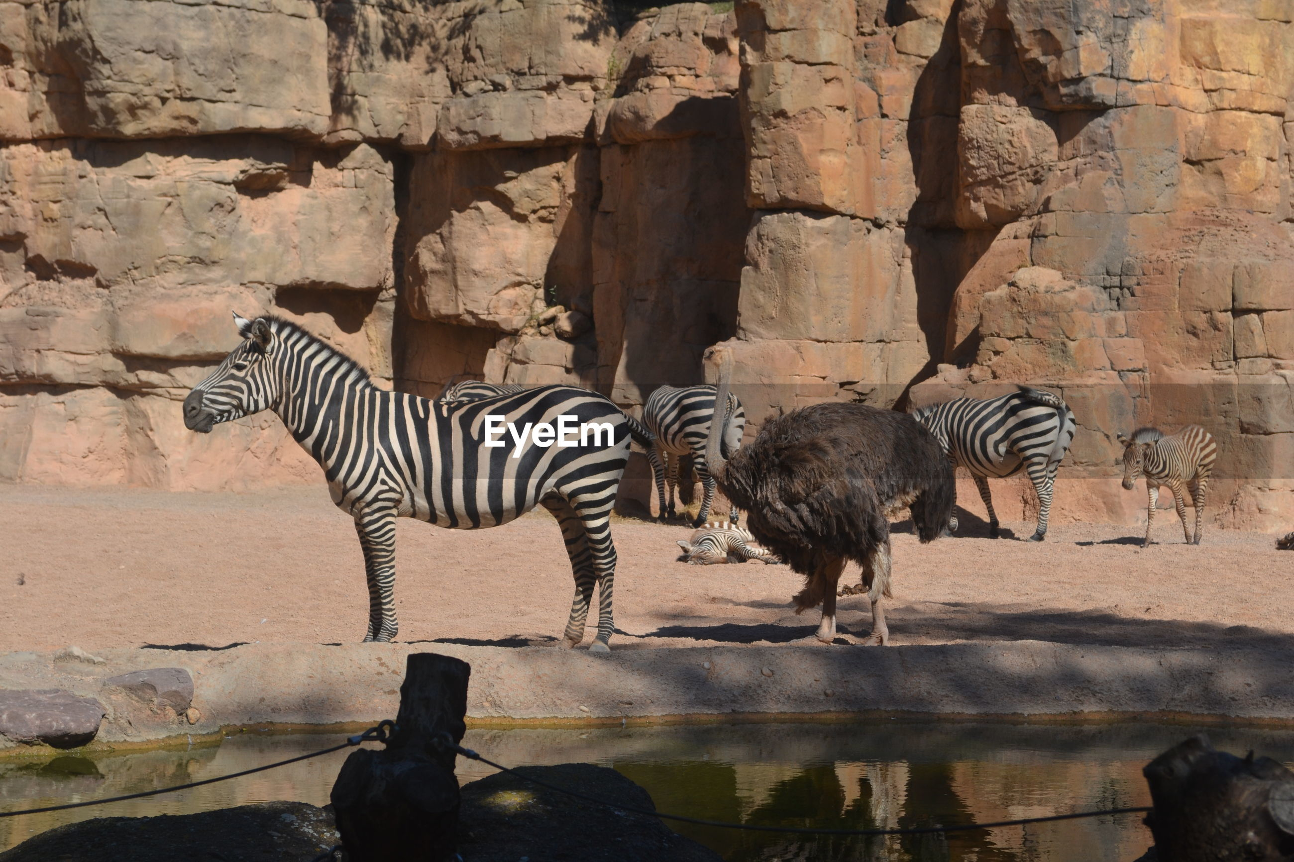 VIEW OF TWO ZEBRAS AND ROCK