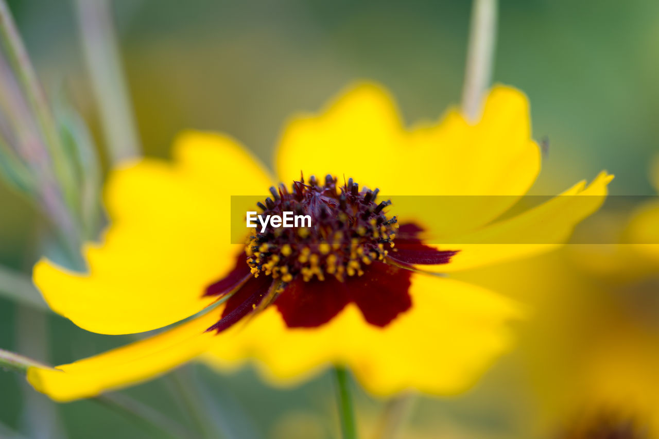 flower, flowering plant, yellow, growth, beauty in nature, freshness, petal, flower head, fragility, vulnerability, plant, inflorescence, close-up, pollen, nature, selective focus, no people, day, focus on foreground, pollination