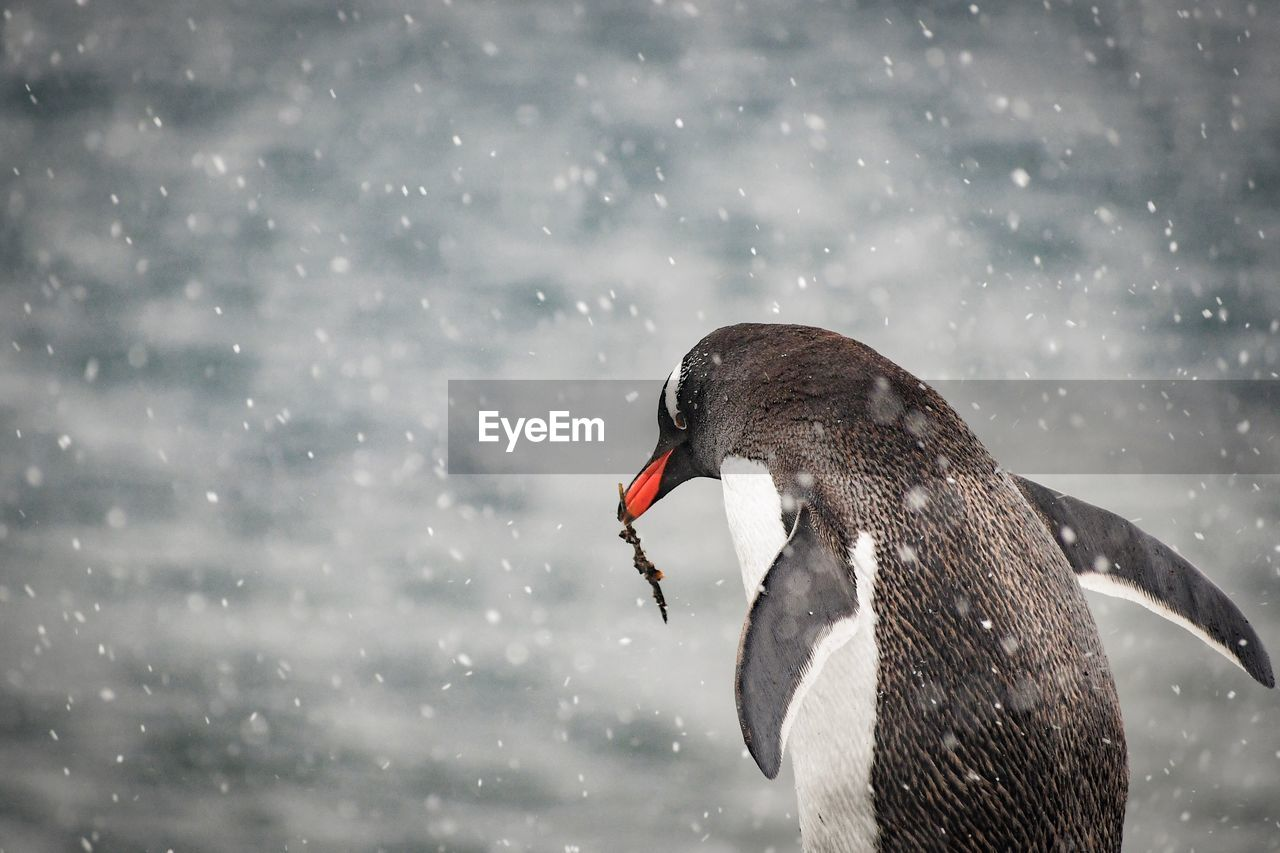 Close-up of penguin during snowfall