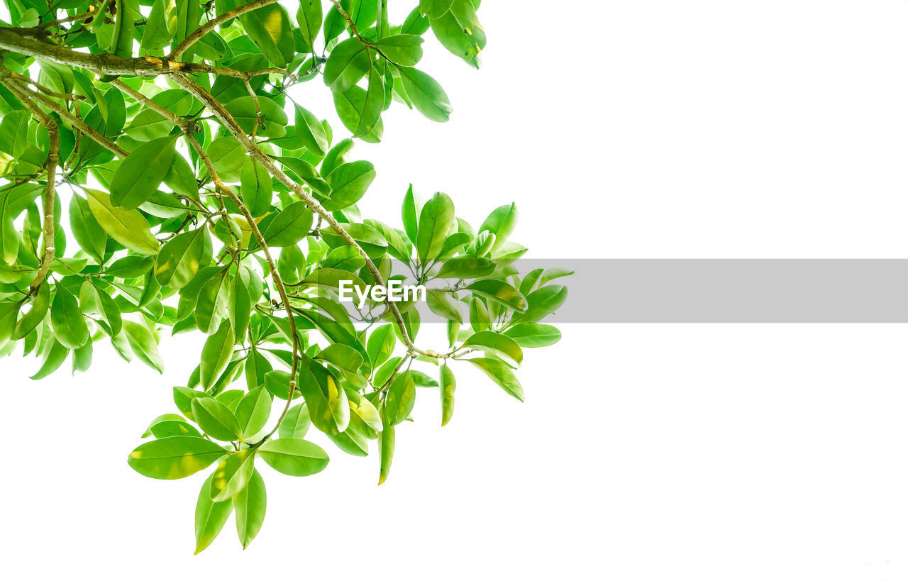 plant part, leaf, plant, white background, green color, studio shot, growth, nature, no people, copy space, close-up, freshness, beauty in nature, cut out, indoors, food, food and drink, leaves, tree