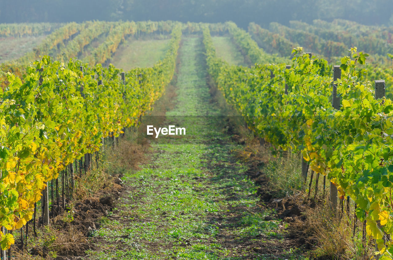 vineyard, growth, agriculture, plant, land, landscape, rural scene, field, farm, nature, scenics - nature, beauty in nature, in a row, green color, crop, winemaking, environment, tranquil scene, plantation, vine, no people, diminishing perspective, outdoors
