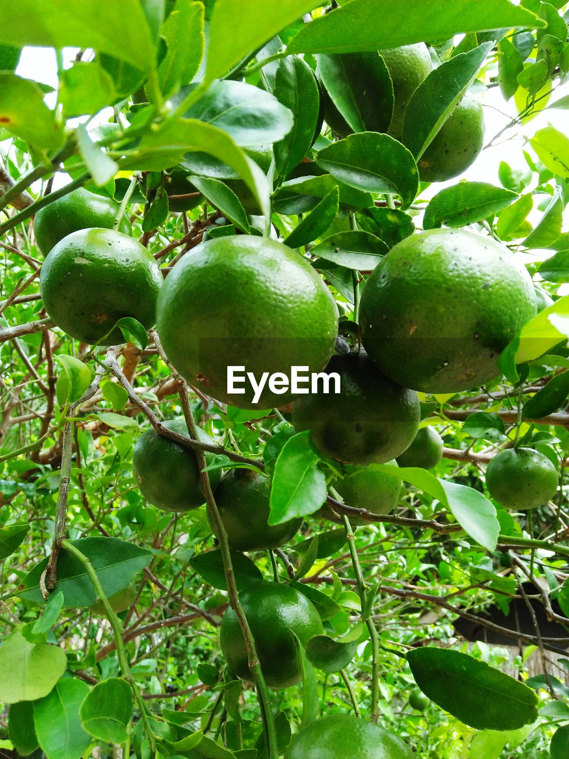 green color, fruit, food and drink, food, freshness, healthy eating, growth, leaf, tree, outdoors, unripe, no people, day, nature, branch, close-up