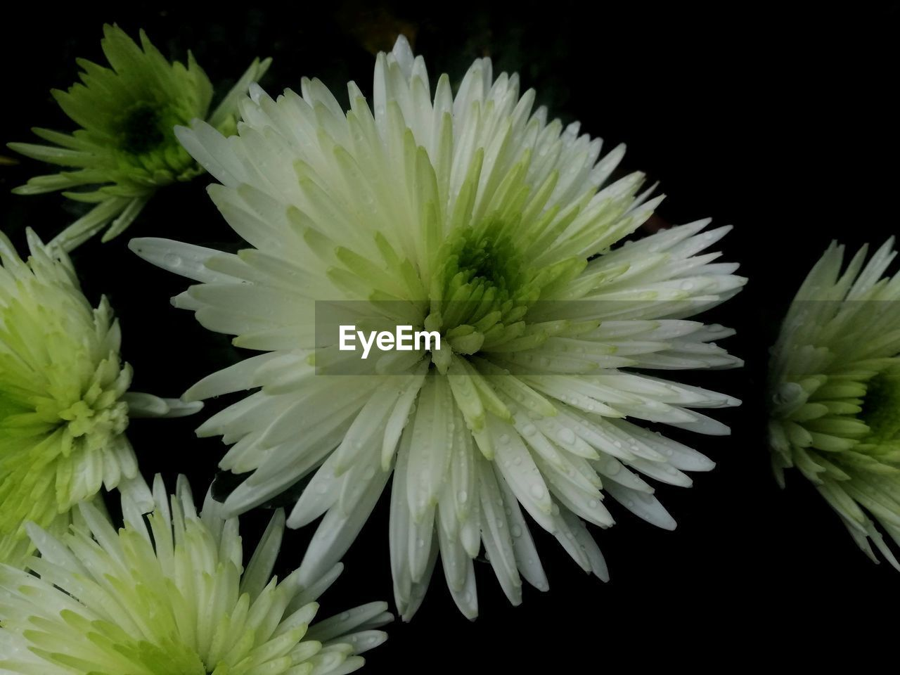 flower, flowering plant, vulnerability, freshness, fragility, beauty in nature, plant, close-up, petal, flower head, inflorescence, growth, chrysanthemum, no people, studio shot, yellow, nature, black background, indoors, green color, flower arrangement, spiky