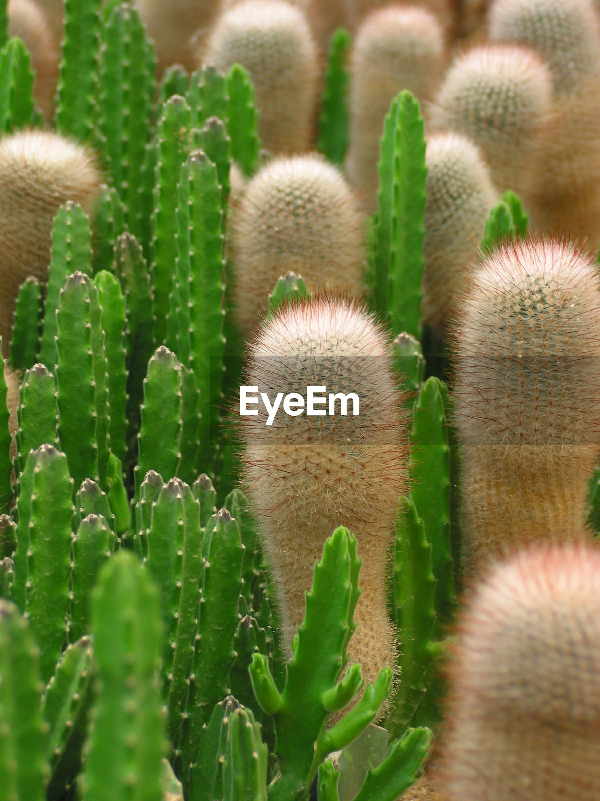 High angle view of cactuses growing on field