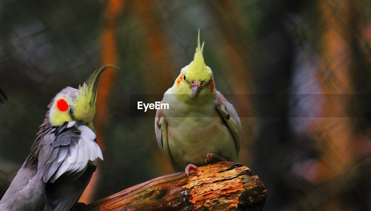 Close-up of cockatiels perching on wood at zoo