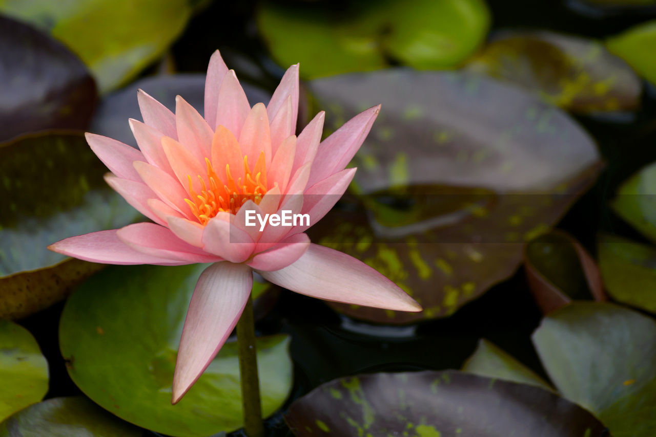 flower, flowering plant, petal, beauty in nature, vulnerability, plant, fragility, freshness, water lily, growth, inflorescence, flower head, close-up, lake, leaf, pink color, plant part, water, nature, lotus water lily, no people, pollen, floating on water, leaves