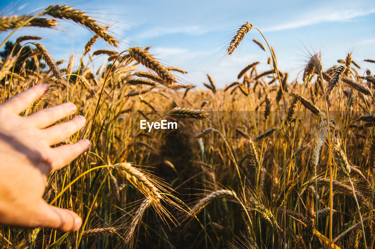 Cropped Image Of Hand Touching Wheat Plant