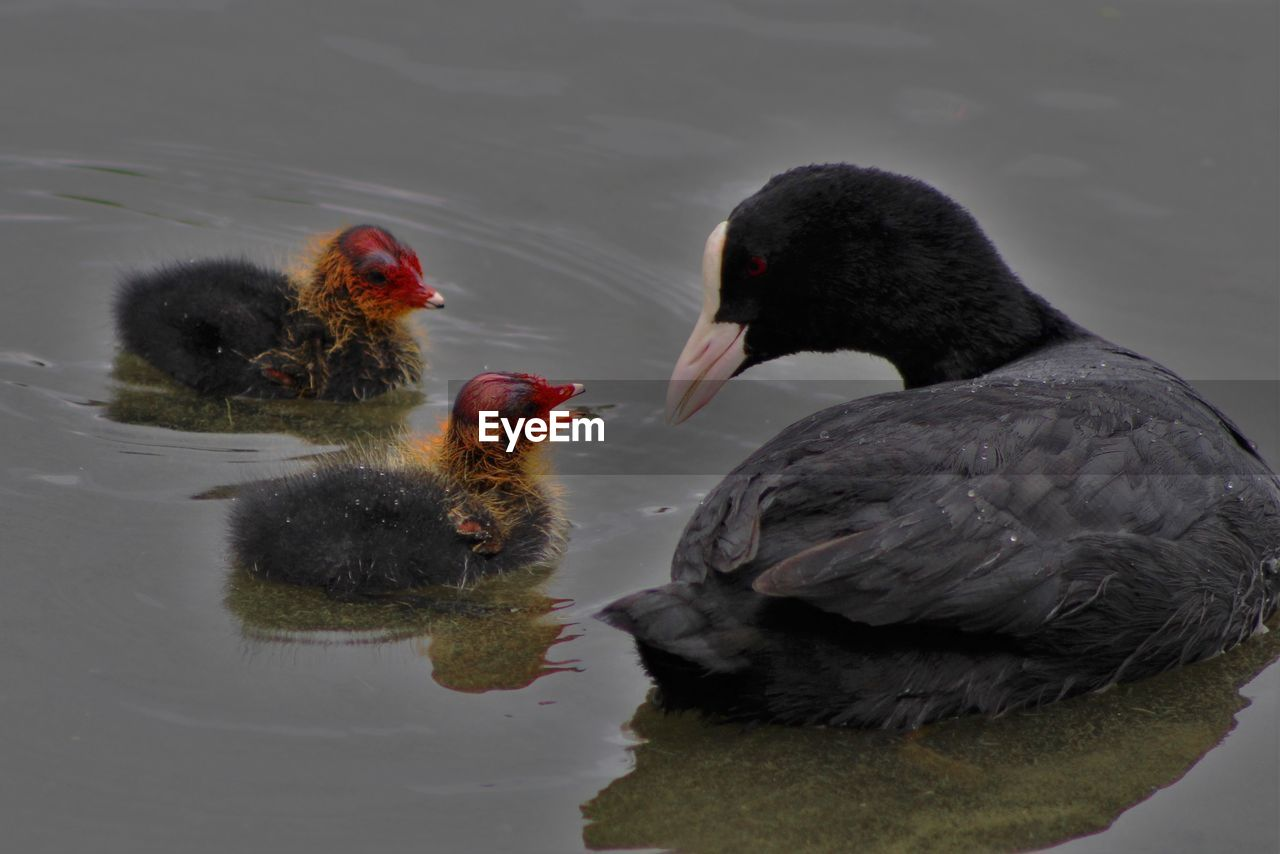 group of animals, animal, animal themes, bird, vertebrate, animal wildlife, animals in the wild, two animals, lake, water, no people, nature, young animal, beak, young bird, coot, animal family, day, black color