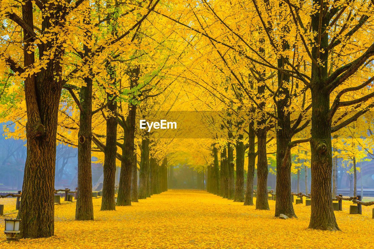 tree, plant, yellow, autumn, beauty in nature, the way forward, change, diminishing perspective, direction, treelined, nature, tree trunk, no people, park, tranquility, tranquil scene, trunk, footpath, growth, scenics - nature, outdoors, autumn collection