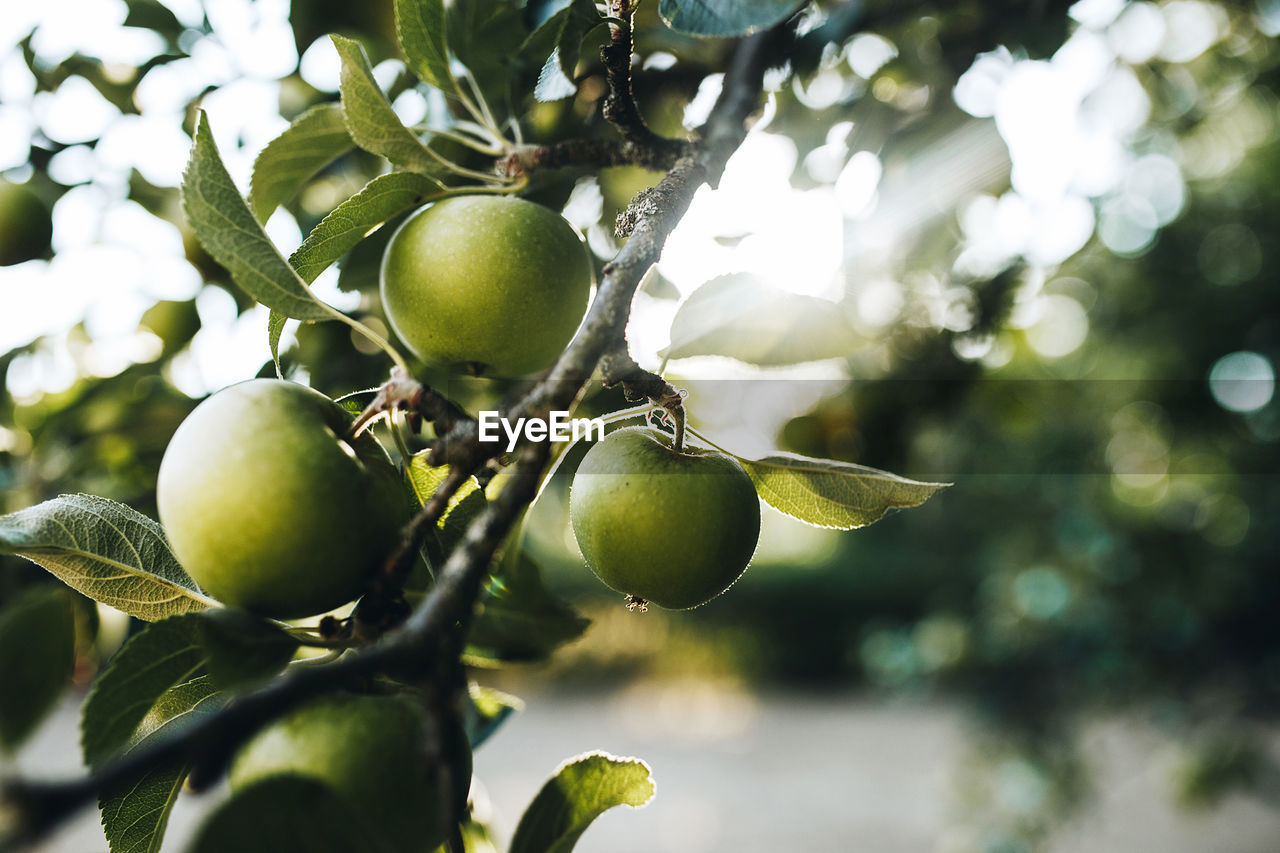 Close-Up Of Granny Smith Apples Growing On Branch At Farm