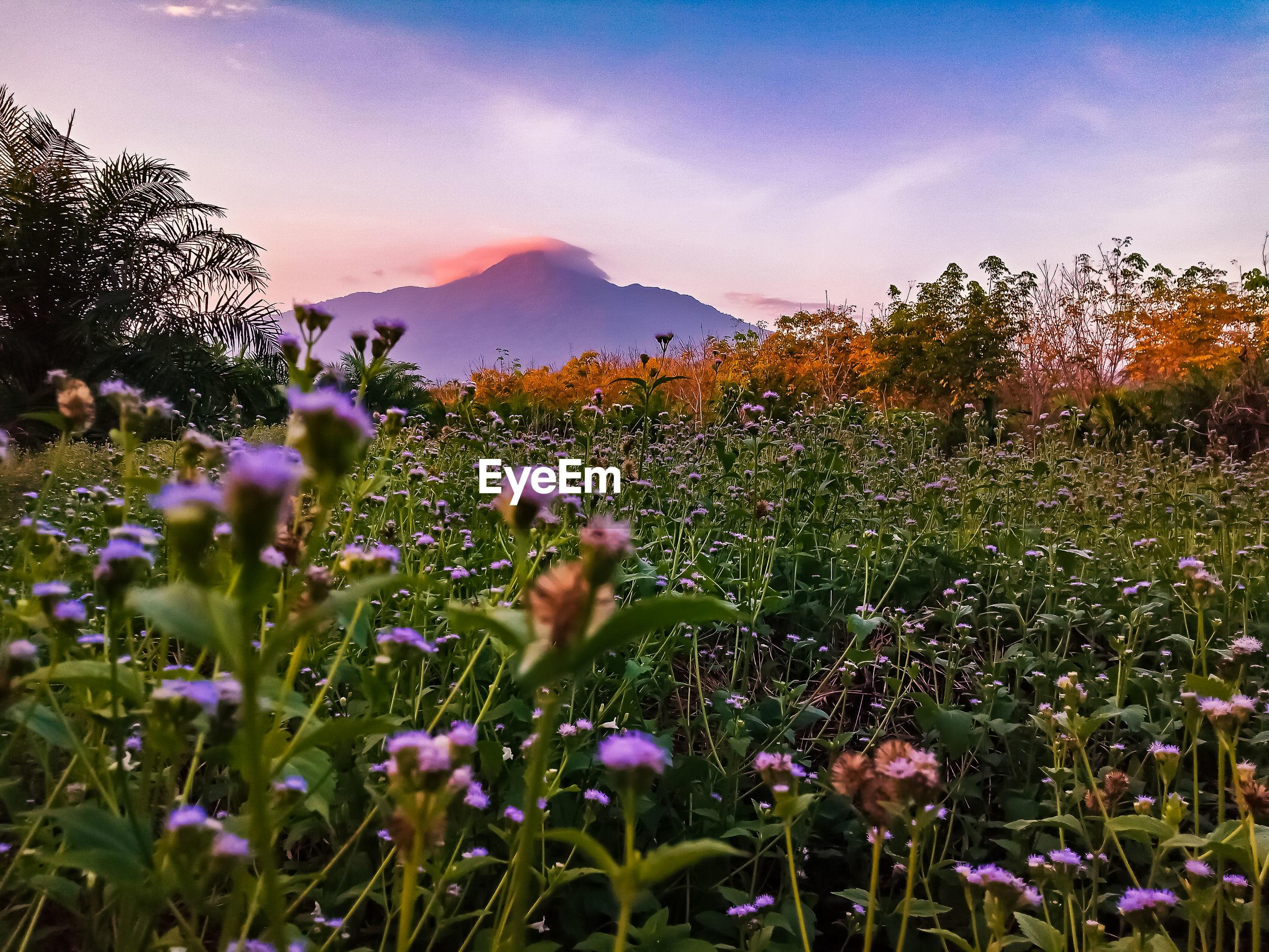 PURPLE FLOWERING PLANT ON FIELD AGAINST SKY