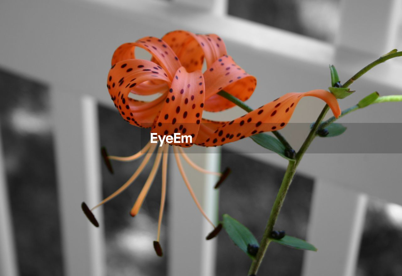 Close-up of tiger lily blooming by fence