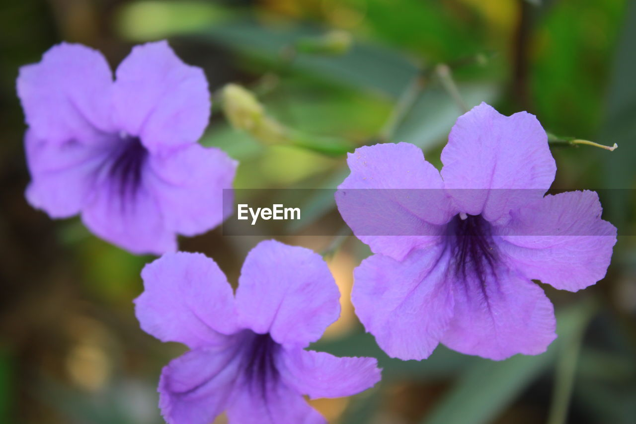 flowering plant, flower, fragility, vulnerability, plant, petal, beauty in nature, freshness, growth, close-up, inflorescence, flower head, focus on foreground, nature, no people, purple, day, selective focus, outdoors, botany