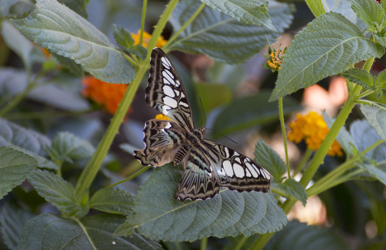 butterfly - insect, animals in the wild, animal themes, leaf, one animal, animal wildlife, plant, nature, insect, day, butterfly, outdoors, beauty in nature, animal markings, growth, no people, close-up, perching, lantana camara, spread wings, flower, fragility