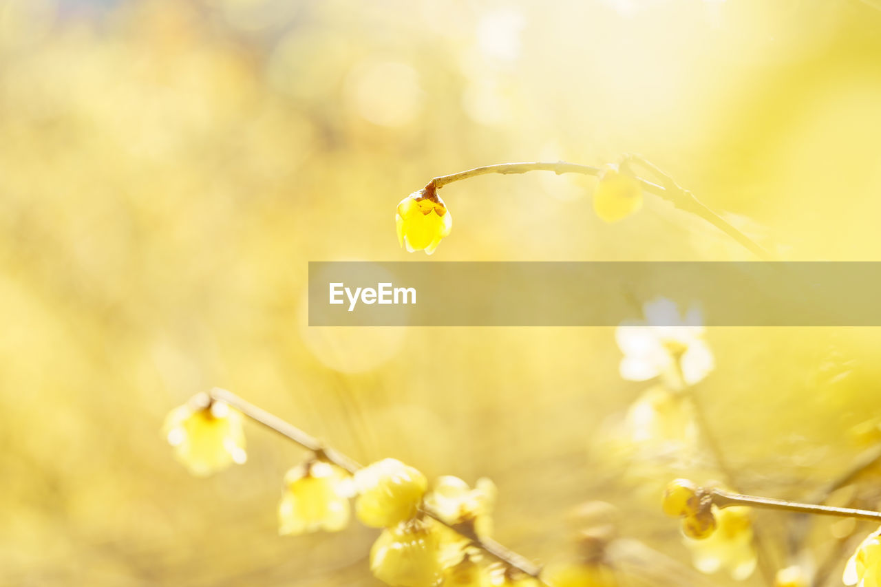 flower, plant, fragility, flowering plant, close-up, vulnerability, growth, freshness, yellow, nature, beauty in nature, selective focus, no people, focus on foreground, day, petal, drop, outdoors, one animal, flower head, purity