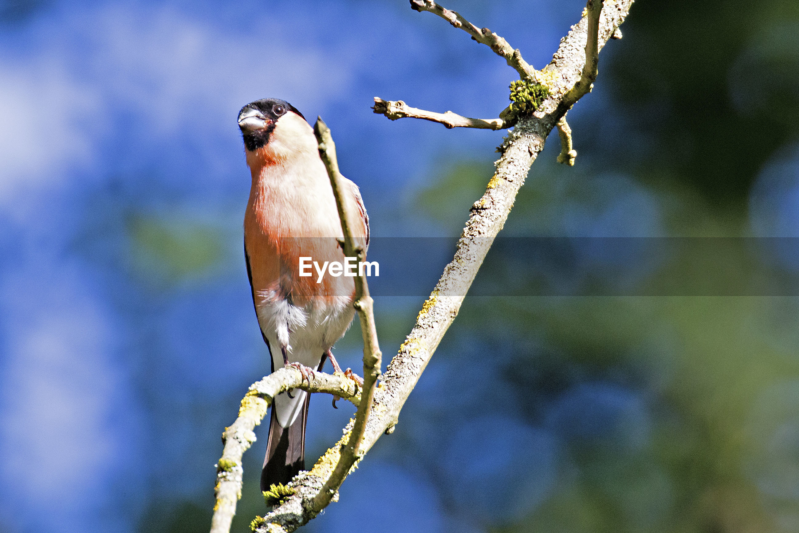 Low angle view of eurasian bullfinch perching on branch