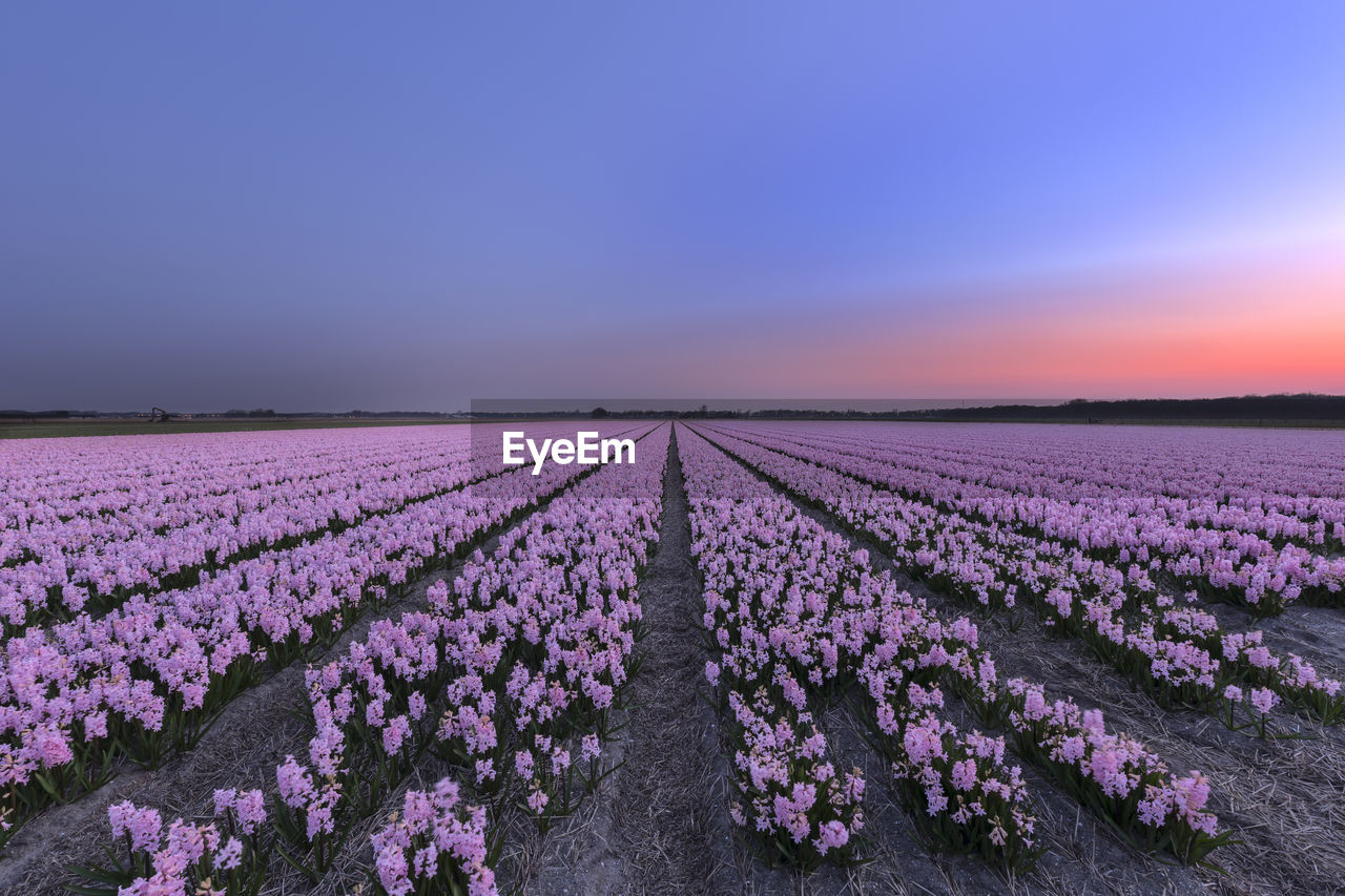Purple Flowers On Field Against Sky During Sunset