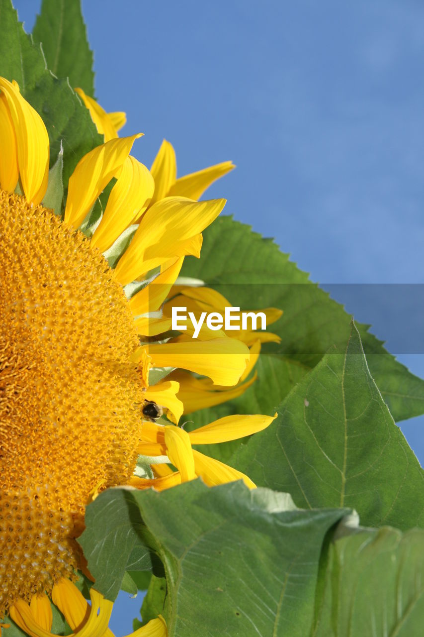 flower, yellow, leaf, petal, fragility, beauty in nature, plant, nature, growth, freshness, flower head, sunflower, outdoors, no people, day, close-up, green color, blooming, animal themes