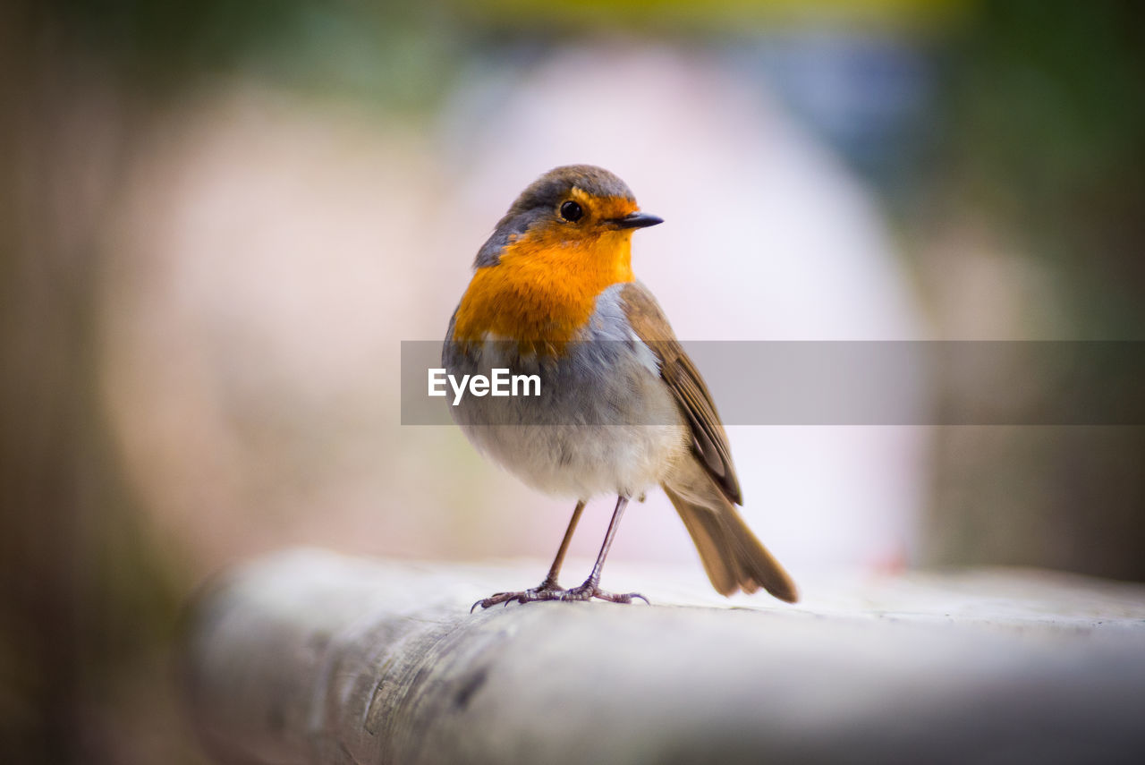 Close-Up Of Robin Perching On Railing