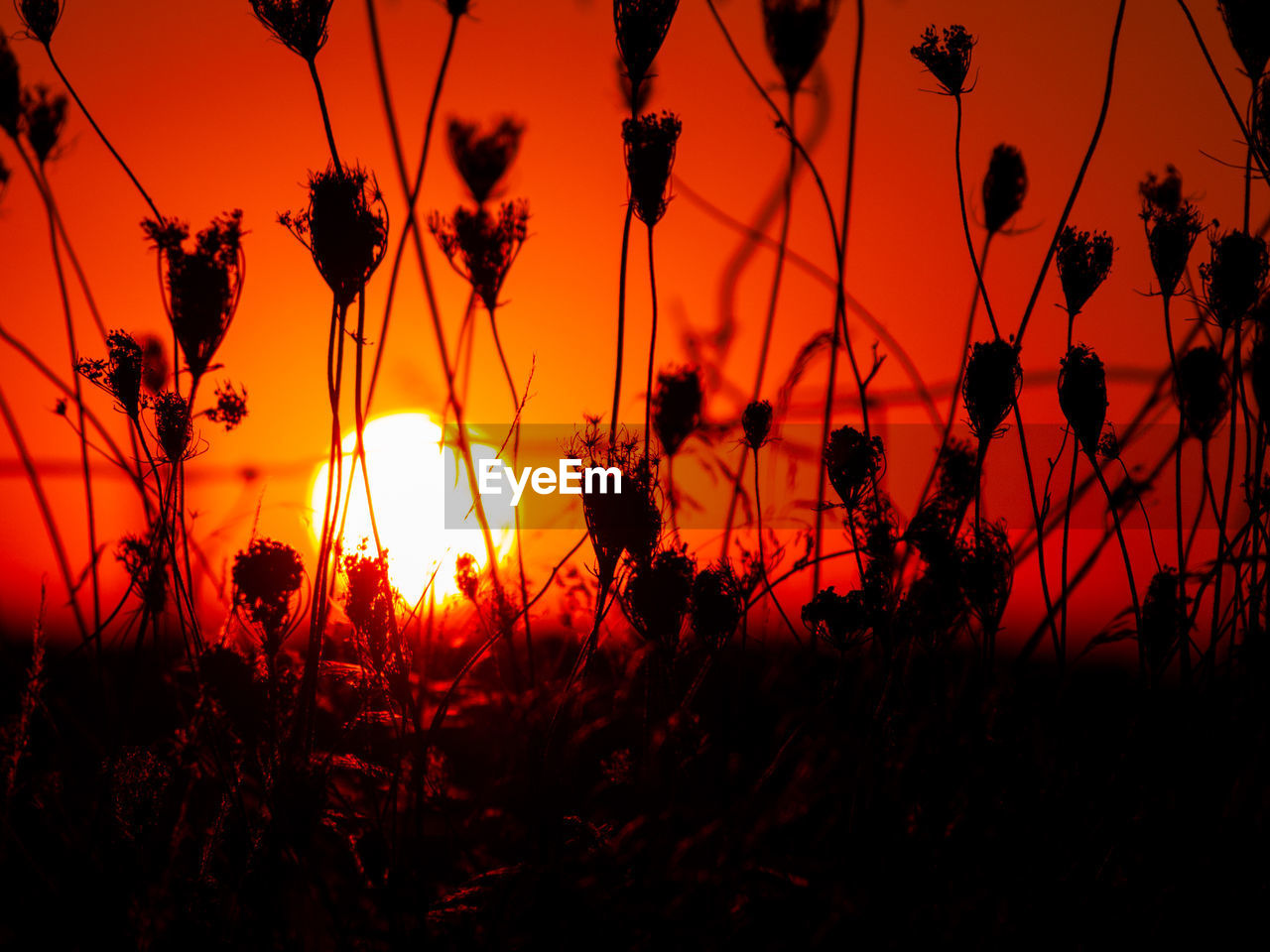 sunset, beauty in nature, plant, sky, growth, silhouette, orange color, tranquility, no people, nature, land, flowering plant, field, scenics - nature, tranquil scene, flower, sun, close-up, outdoors, fragility