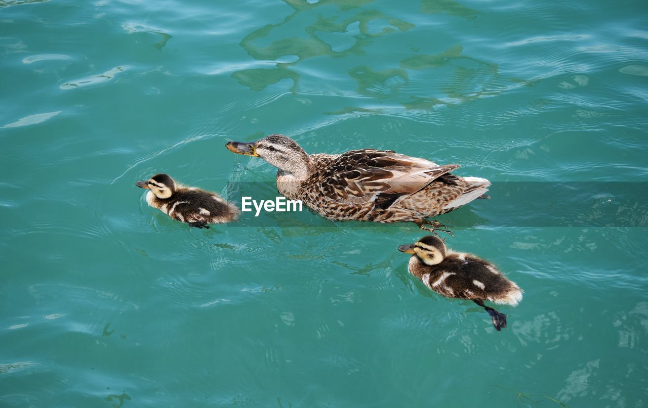 animal themes, animal, water, animal wildlife, animals in the wild, vertebrate, bird, group of animals, swimming, duck, lake, poultry, waterfront, nature, high angle view, day, no people, female animal, young animal, animal family, outdoors