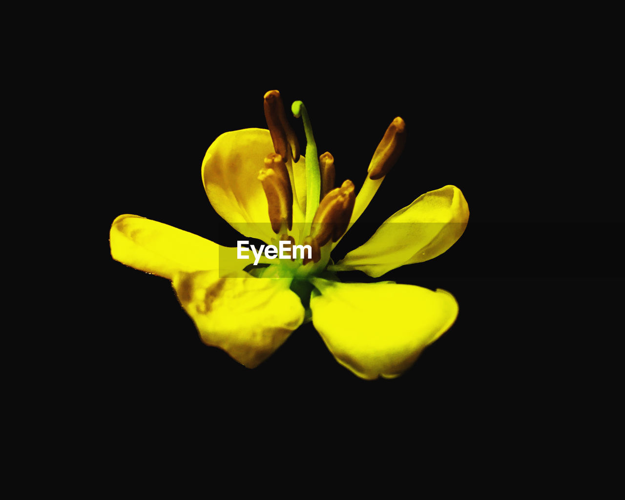 freshness, flower, vulnerability, flowering plant, fragility, close-up, black background, beauty in nature, yellow, studio shot, plant, flower head, inflorescence, petal, no people, copy space, pollen, growth, indoors
