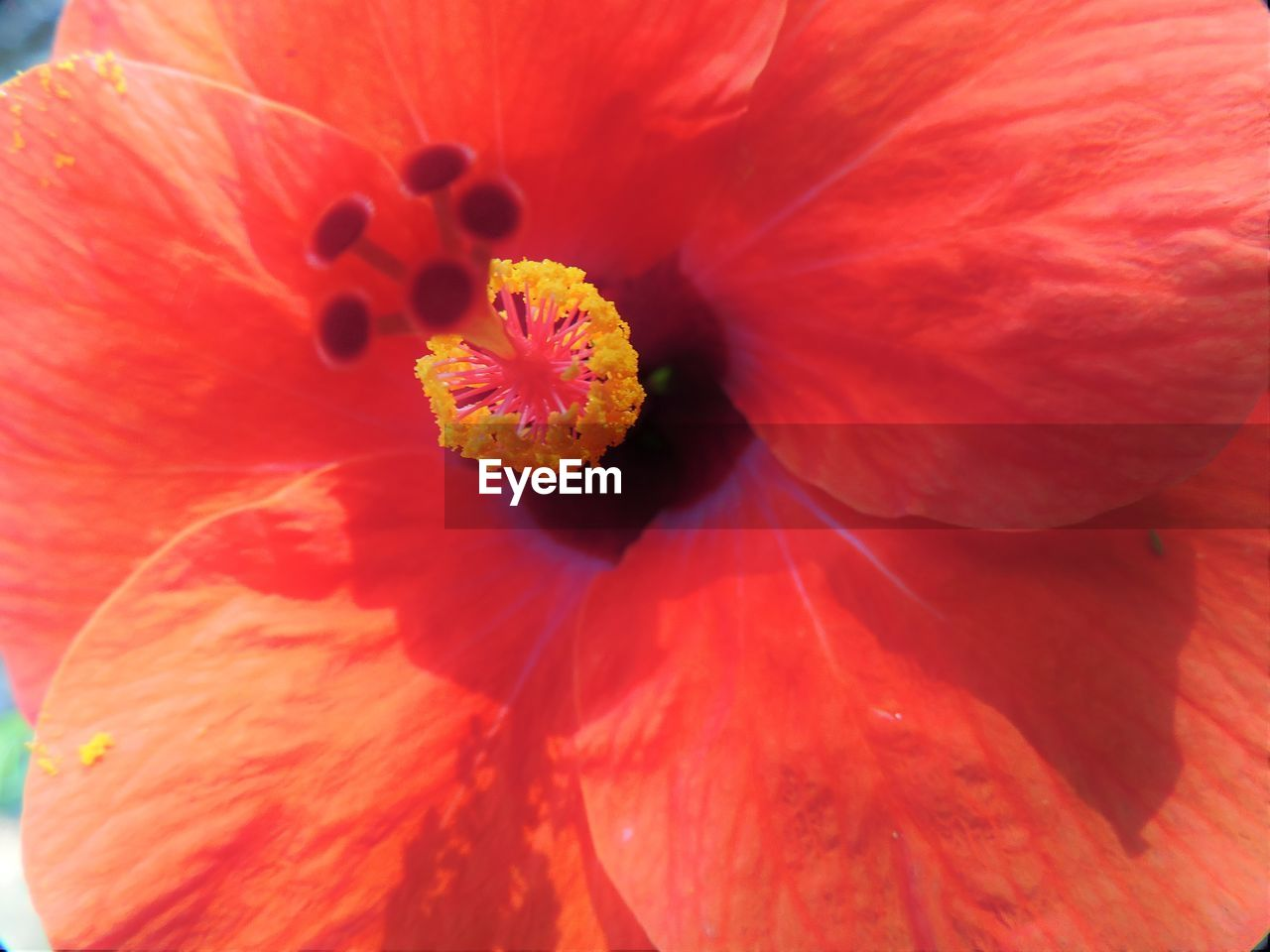flower, petal, flower head, fragility, freshness, beauty in nature, pollen, nature, full frame, close-up, stamen, backgrounds, no people, hibiscus, red, growth, day, blooming, outdoors