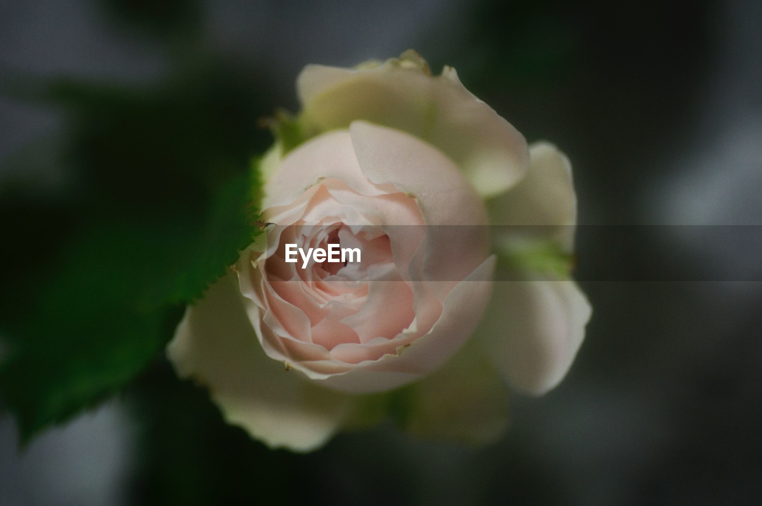 CLOSE-UP OF ROSE FLOWER BLOOMING OUTDOORS
