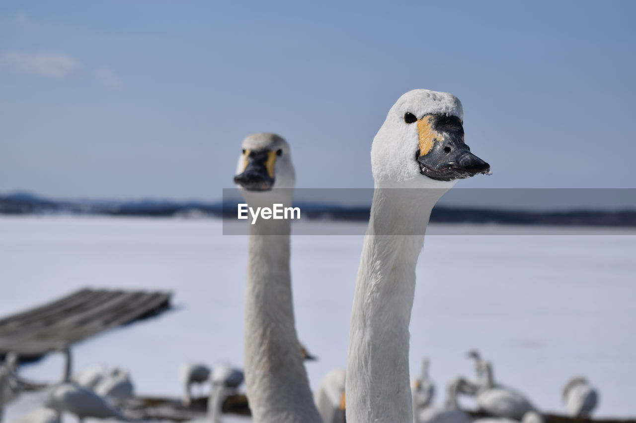 animal themes, bird, animals in the wild, animal, animal wildlife, vertebrate, group of animals, focus on foreground, two animals, water, sky, nature, beak, day, no people, close-up, animal body part, water bird, white color, animal head, outdoors, animal neck