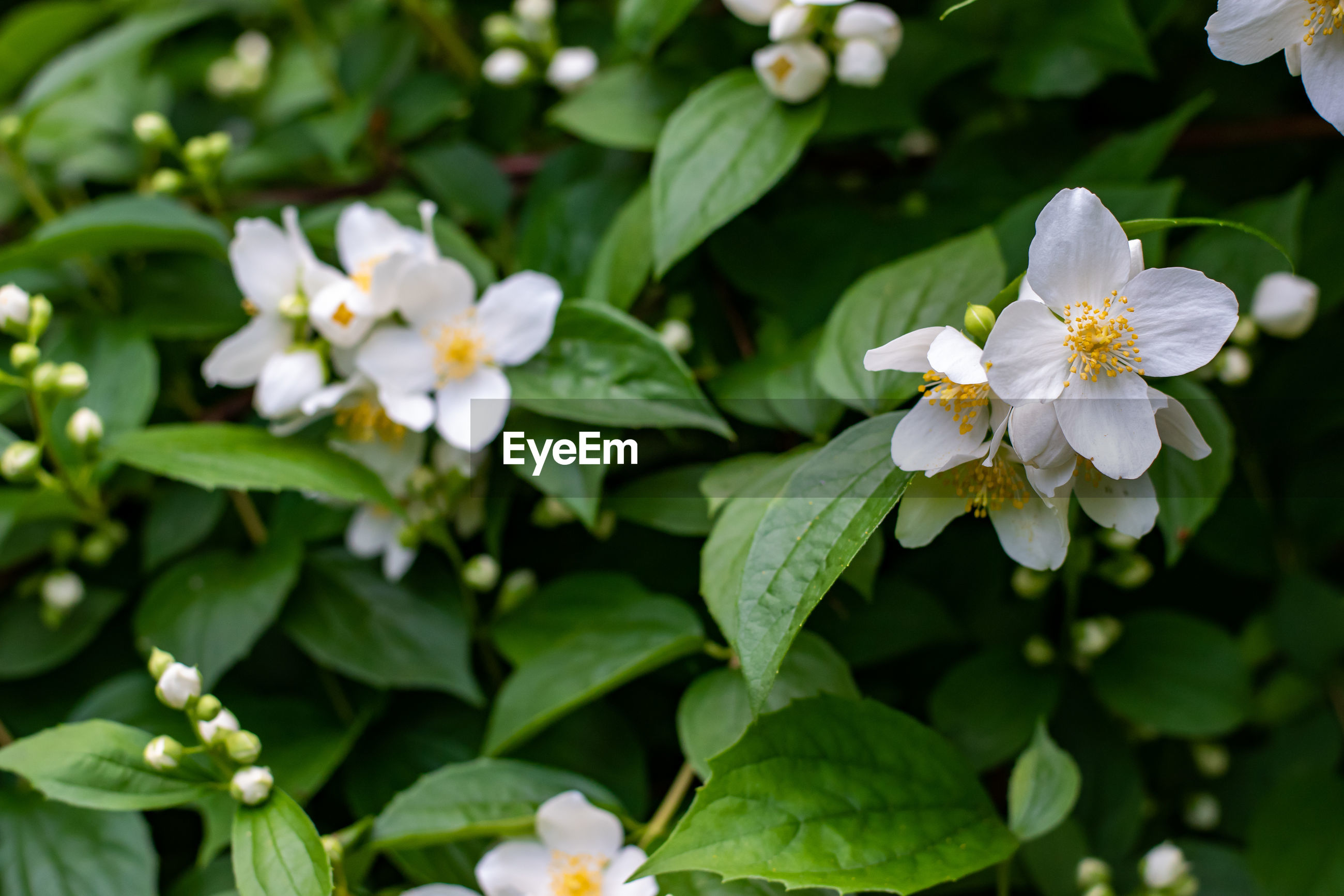 CLOSE-UP OF WHITE FLOWERING PLANT WITH LEAVES