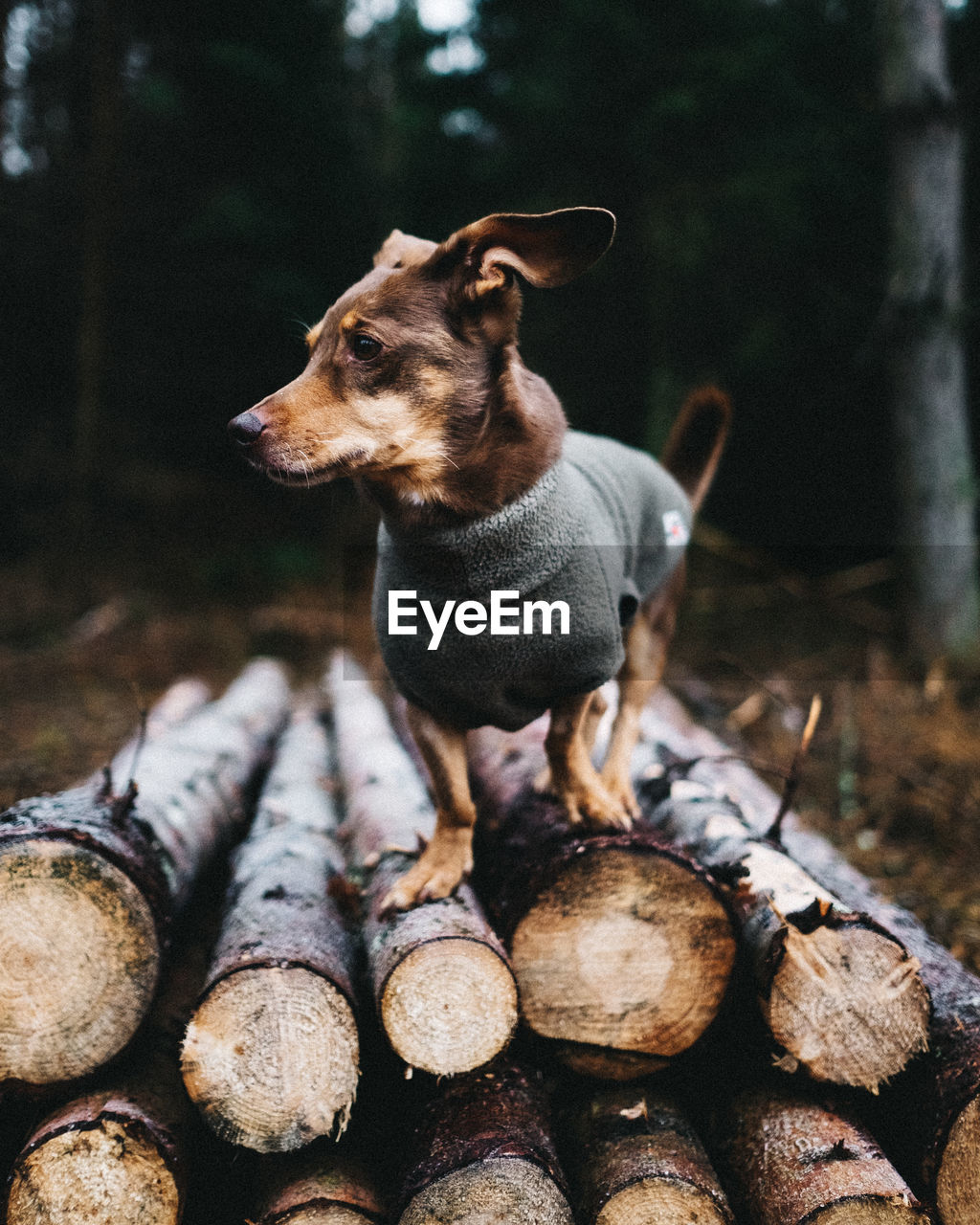 Dog looking away while standing on logs in forest