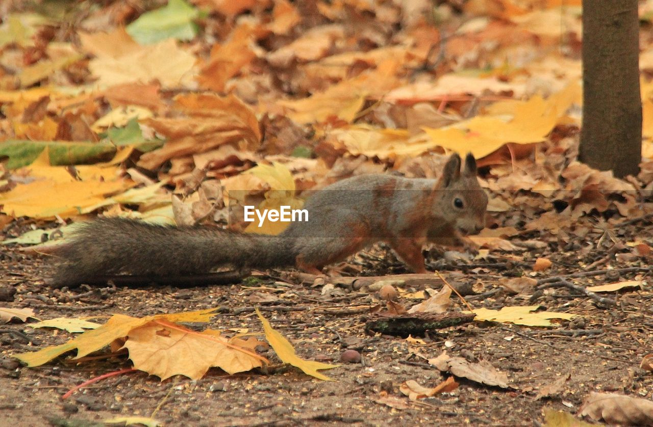 animal themes, animal, plant part, animal wildlife, leaf, mammal, autumn, one animal, rodent, animals in the wild, squirrel, nature, no people, vertebrate, land, full length, day, leaves, tree, outdoors, change