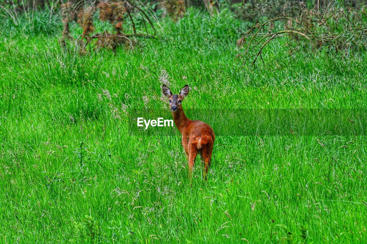 grass, animal themes, green color, mammal, nature, field, animals in the wild, one animal, day, outdoors, no people, animal wildlife, growth, domestic animals