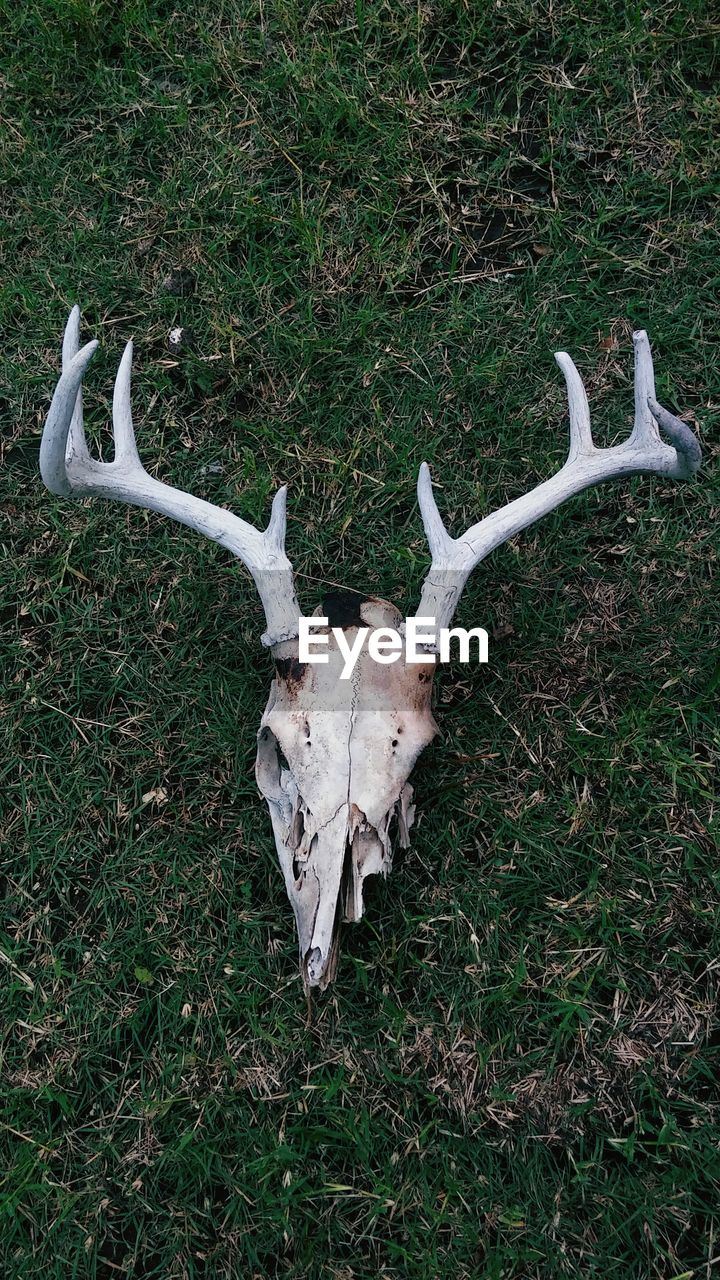 antler, deer, animal, grass, animal themes, plant, land, field, animal wildlife, mammal, animal body part, horned, bone, nature, no people, animal skull, day, animal head, outdoors, award, herbivorous