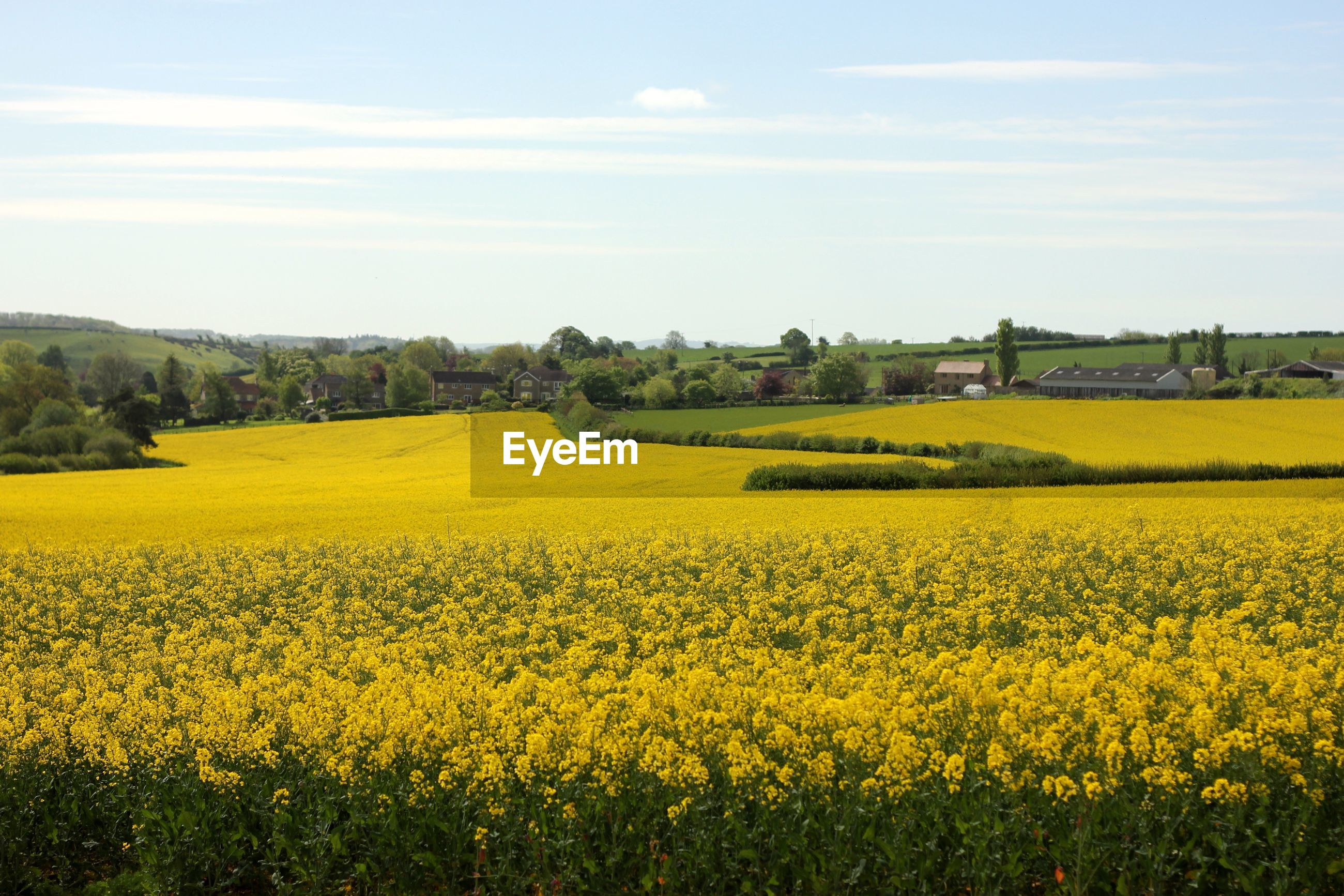 yellow, agriculture, oilseed rape, field, crop, farm, rural scene, beauty in nature, landscape, nature, tranquil scene, cultivated land, flower, scenics, tranquility, day, no people, mustard plant, growth, cultivated, outdoors, sky, springtime, tree, freshness