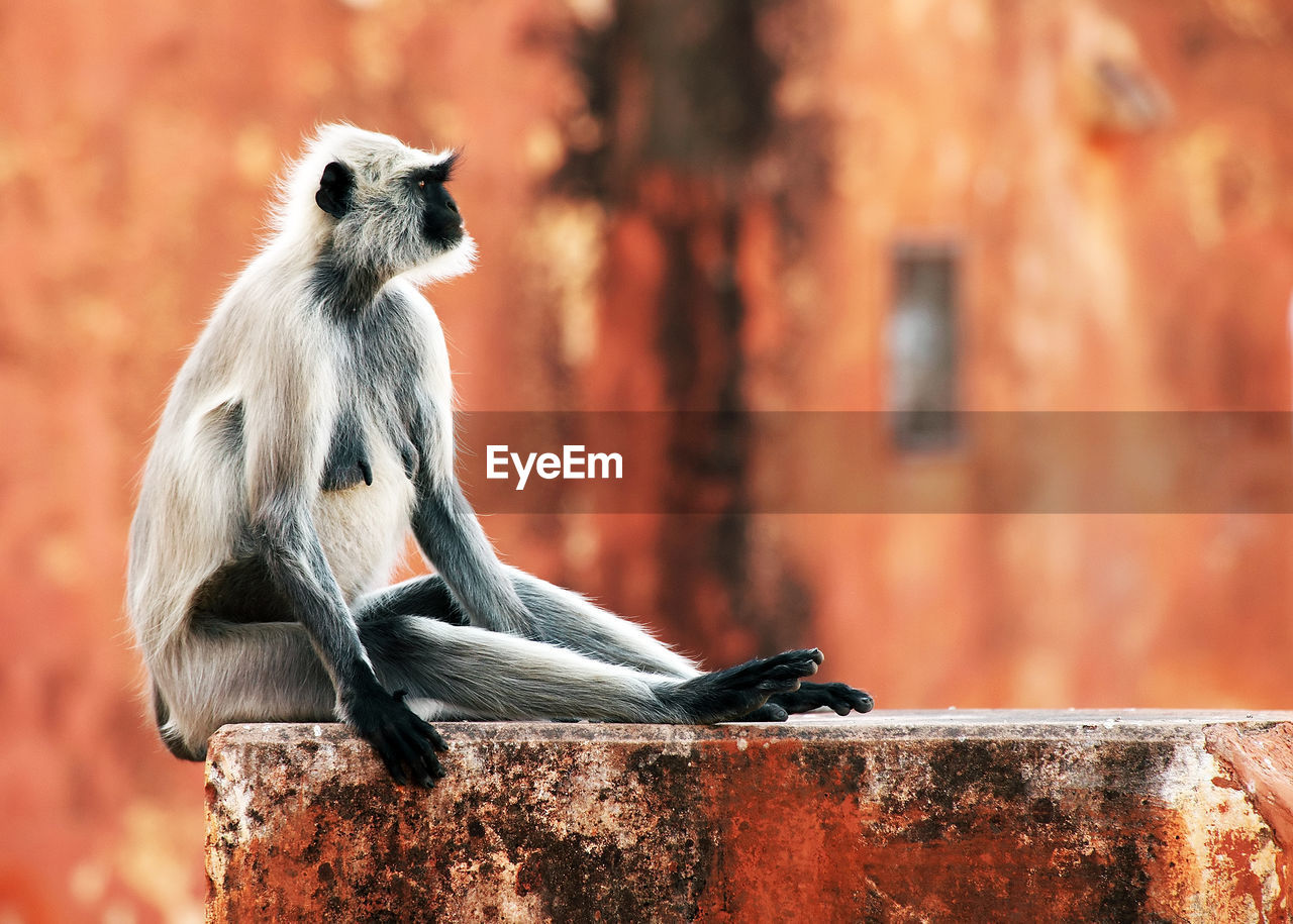 Langur looking away while sitting on wall at jaigarh fort