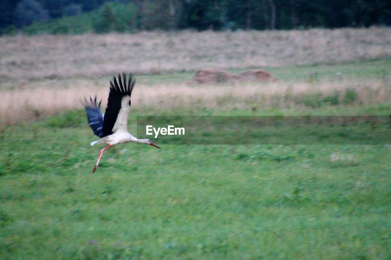 animals in the wild, animal themes, animal wildlife, bird, animal, vertebrate, one animal, flying, spread wings, field, land, no people, day, motion, nature, grass, mid-air, plant, outdoors, stork