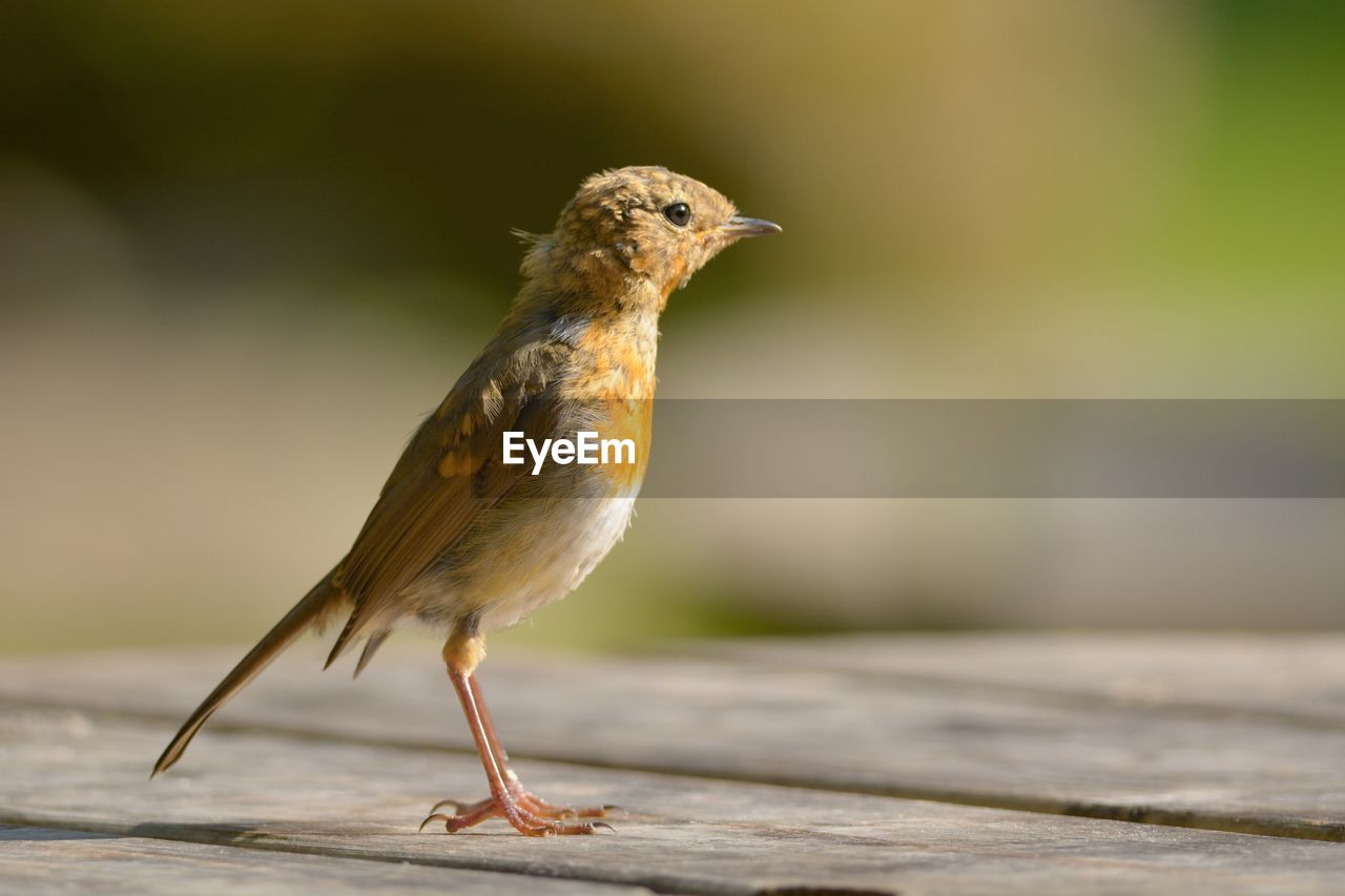 Robin On Wooden Table