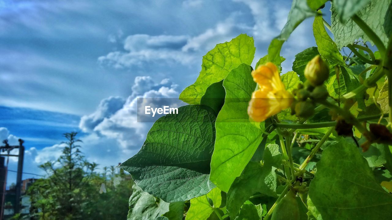 leaf, green color, growth, nature, beauty in nature, low angle view, day, plant, freshness, outdoors, no people, cloud - sky, sky, tree, close-up, food