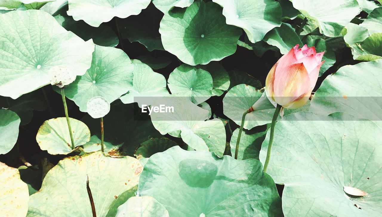 leaf, flower, growth, beauty in nature, fragility, nature, plant, petal, freshness, green color, outdoors, flower head, no people, day, blooming, water lily, floating on water, close-up, lily pad