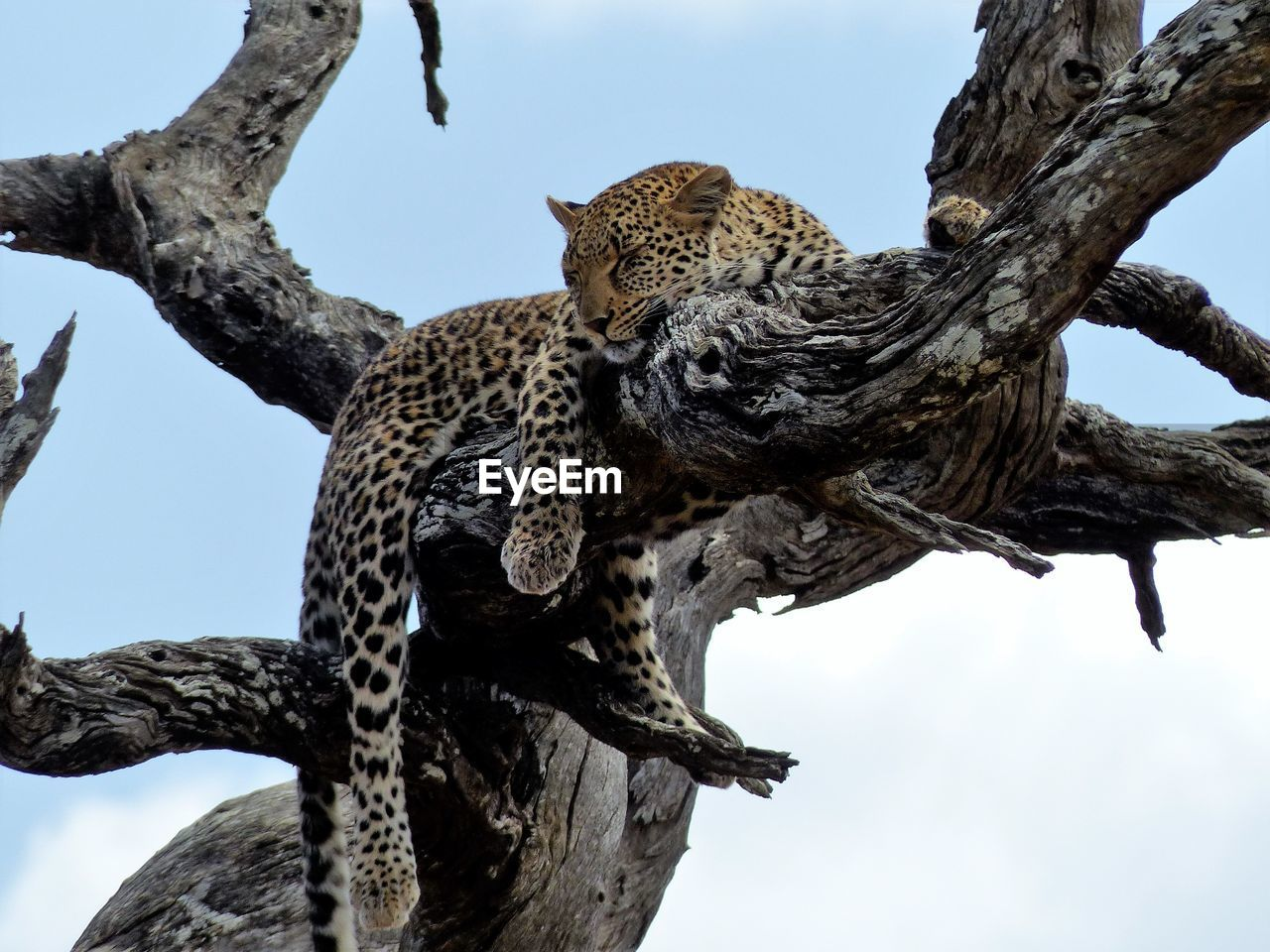 Low angle view of leopard relaxing on bare tree against sky