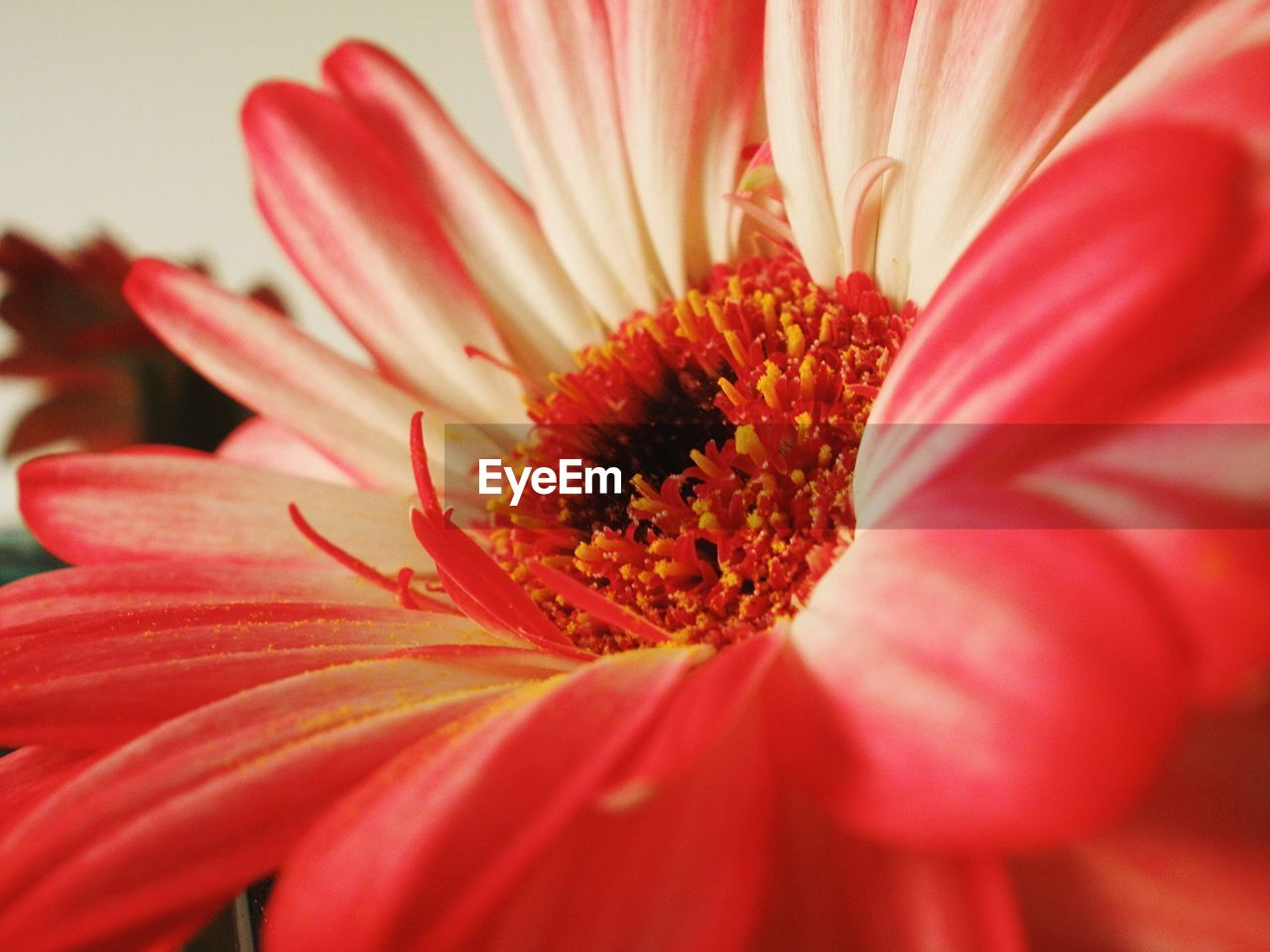 flowering plant, flower, fragility, petal, vulnerability, freshness, beauty in nature, flower head, plant, inflorescence, growth, close-up, pollen, red, selective focus, nature, no people, stamen, day, gazania