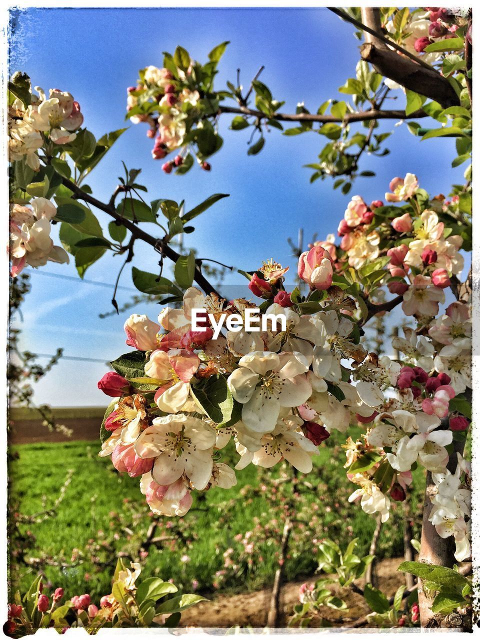 flower, growth, beauty in nature, fragility, tree, blossom, nature, petal, freshness, apple blossom, springtime, apple tree, day, botany, branch, orchard, twig, no people, outdoors, blooming, close-up, plant, flower head, low angle view, clear sky, sky
