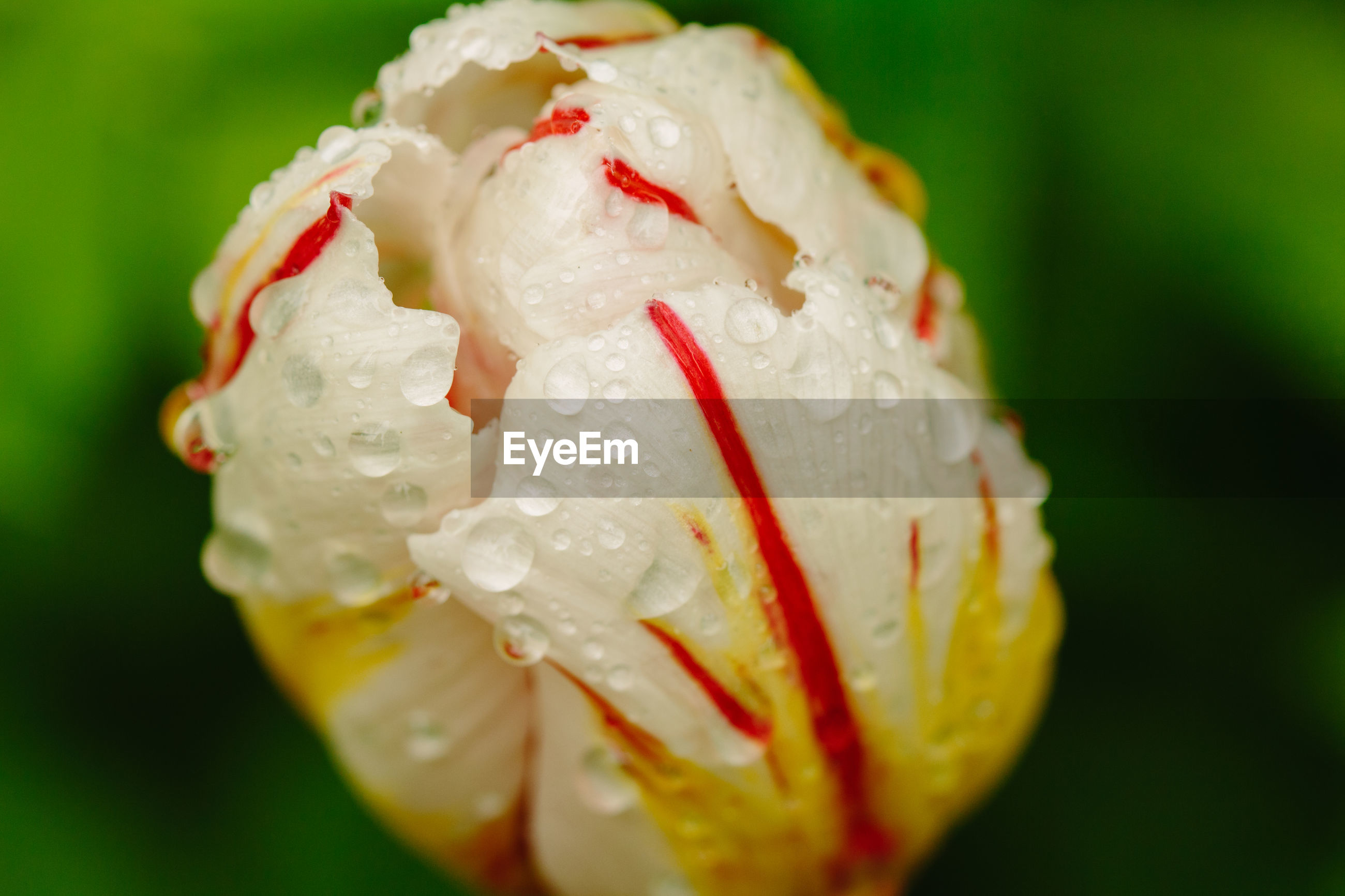 CLOSE-UP OF WET ROSE FLOWER ON DEW DROPS