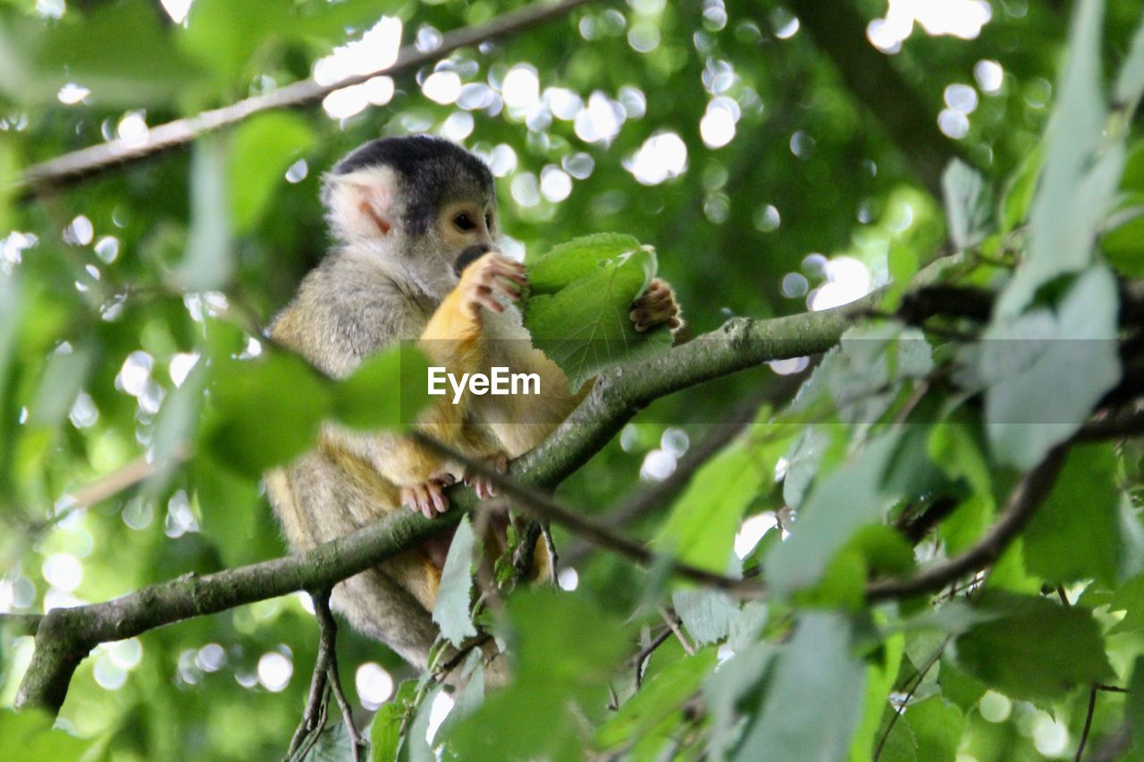tree, animal wildlife, animal, animal themes, animals in the wild, primate, plant, branch, low angle view, mammal, monkey, vertebrate, one animal, no people, nature, green color, day, leaf, plant part