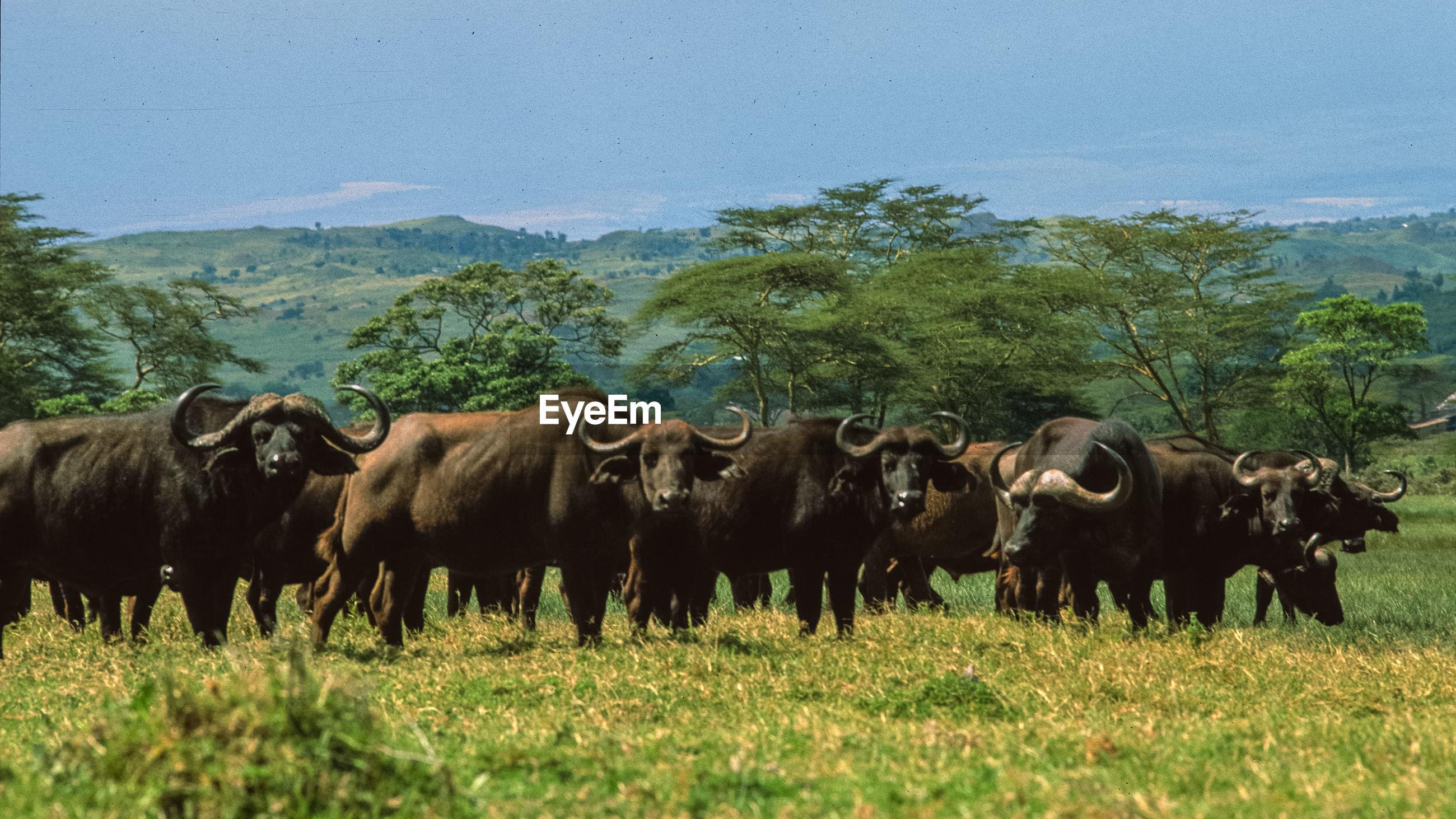 Buffalo grazing on grassy field