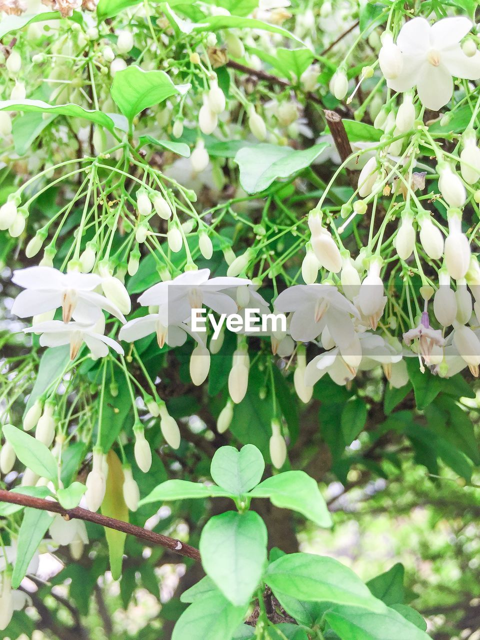 white color, flower, nature, beauty in nature, fragility, growth, petal, plant, day, freshness, leaf, no people, outdoors, blooming, close-up, flower head, tree, snowdrop